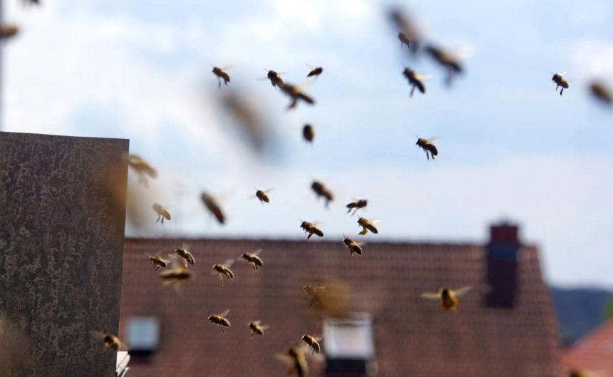 Viele Bienen im Landeanflug auf ihren Stock im Hotel Neuruppin