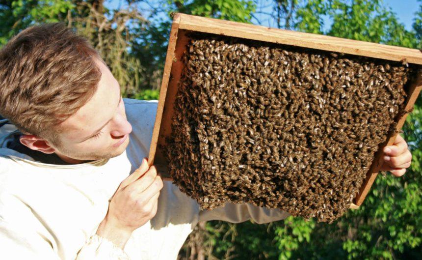Imker hält ein Brett voller Bienen in die Luft