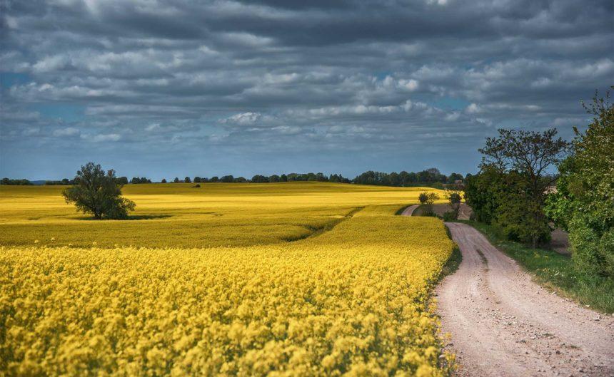 Feldweg entlang eines komplett gelb-blühenden Feldes in der Region Neuruppin