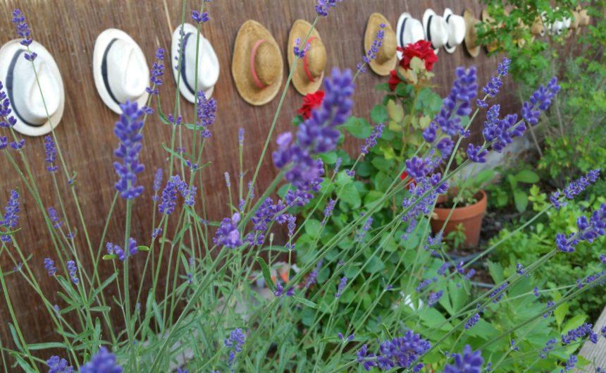 Garten mit frischem Lavendel und Hüten am Zaun
