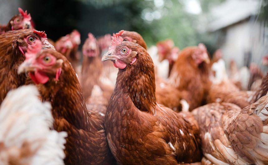 Viele Hühner vom Partner Bartz in der Nahaufnahme