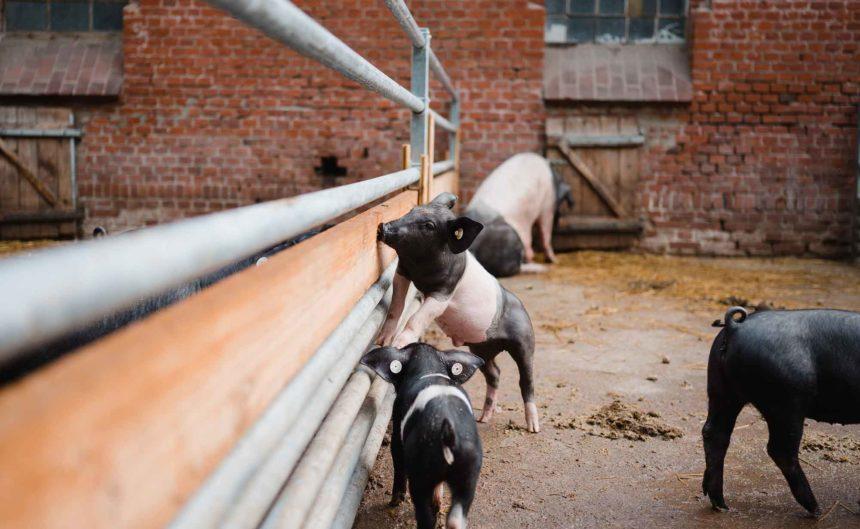 Kleine Ferkel im Stall des Bauer Kuhhorster