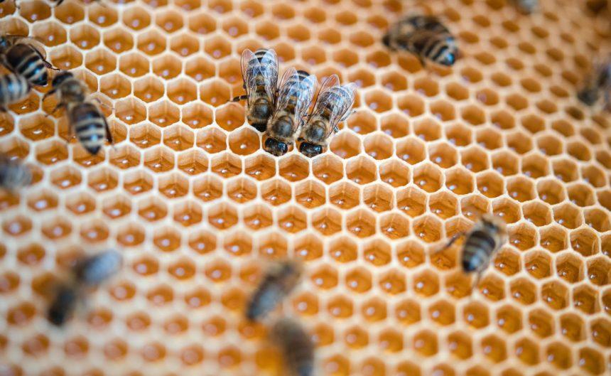 Bienen stecken ihre Köpfe in die Waben