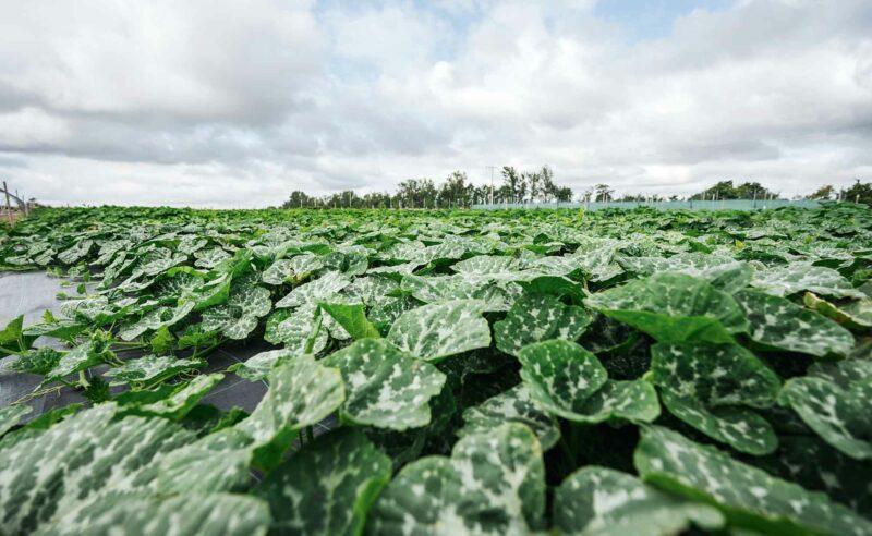Feld des Partner Rixmann mit Mengen an grünem Salat