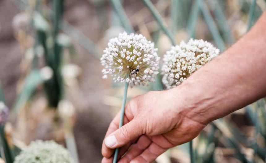 Hand fasst an eine Blume auf dem Feld der Rixmanns