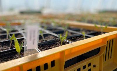 Kleine Sprossen wachsen aus der Erde im Beet in der Region Neuruppin