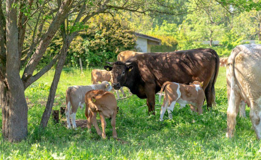 Kuh mit ihren Jungen auf der Wiese des Partner Bechlinbeef